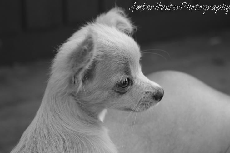 Chihuahua puppy #Chihuahua #Puppy