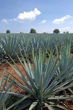 blue agave fields - tequila quiote - atotonilco el alto, jalisco