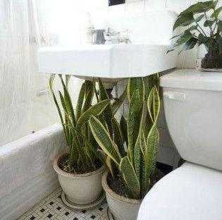 Die besten 25 schwiegermutter zunge ideen auf pinterest schlangenpflanze mehrfarbige - Zimmerpflanzen groay ...