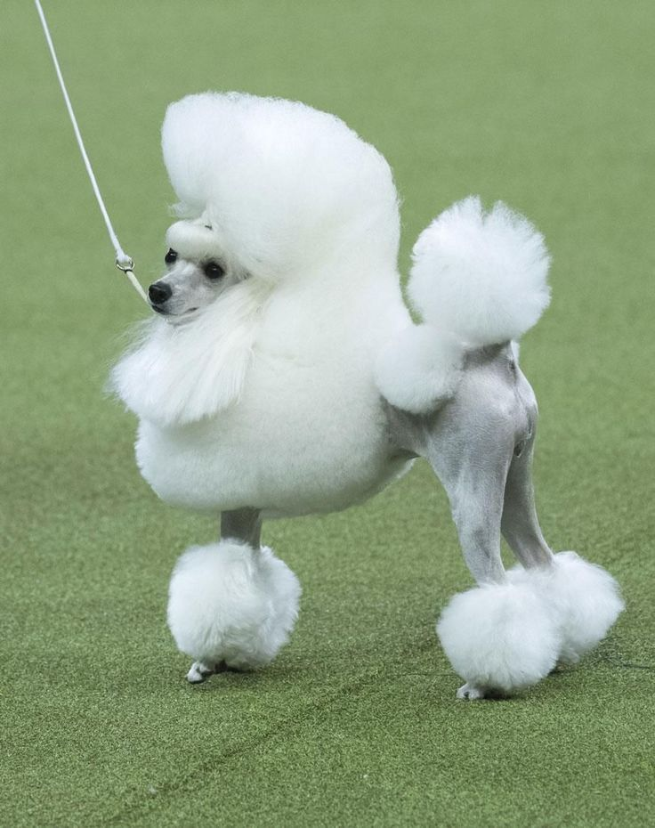 Cami a toy #poodle competes in the Toy group during the 142nd Westminster Kennel Club Dog Show at Madison Square Garden in New York. https://i.redd.it/zkd5f2u6h7g01.jpg