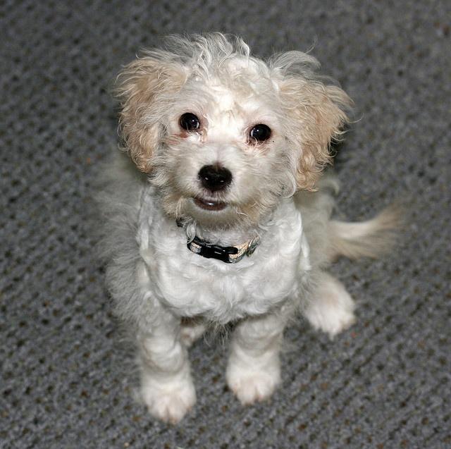 "He's a rat terrier - poodle mix. AKA a ""ratapoo"". ;) His fur is super-soft!"