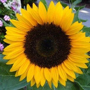 how to make cut sunflowers last