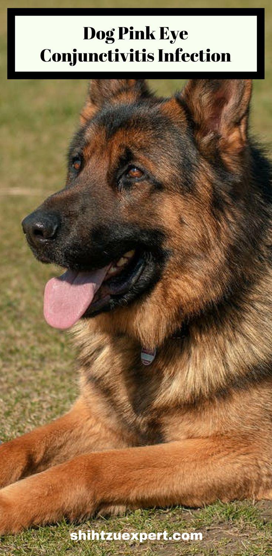 Dog pink eye conjunctivitis infectionThe Shih Tzu Expert | Pet Care Tips • Dog Grooming •  Pet Food • & • Vet Health •