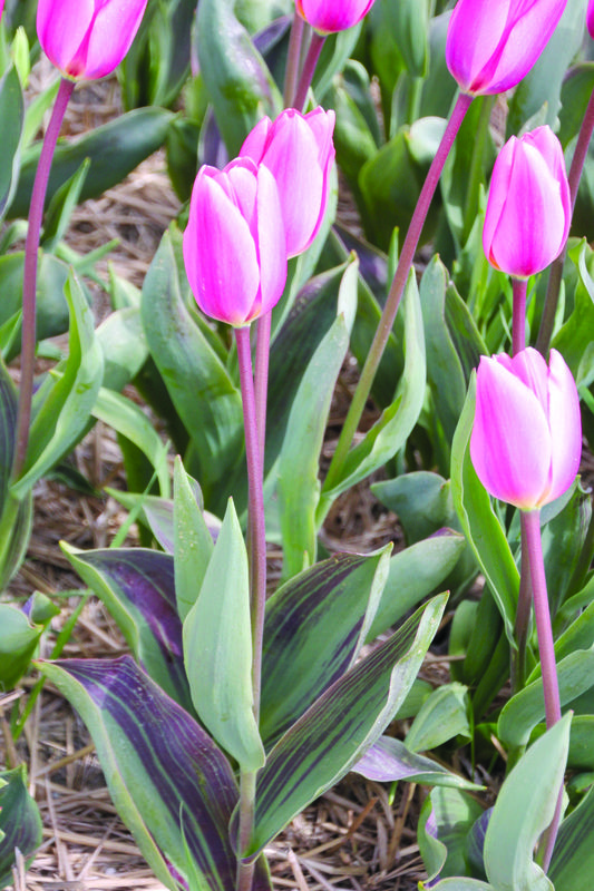 Tulipa Cosmopolitan - Tulip Bulbs for sale