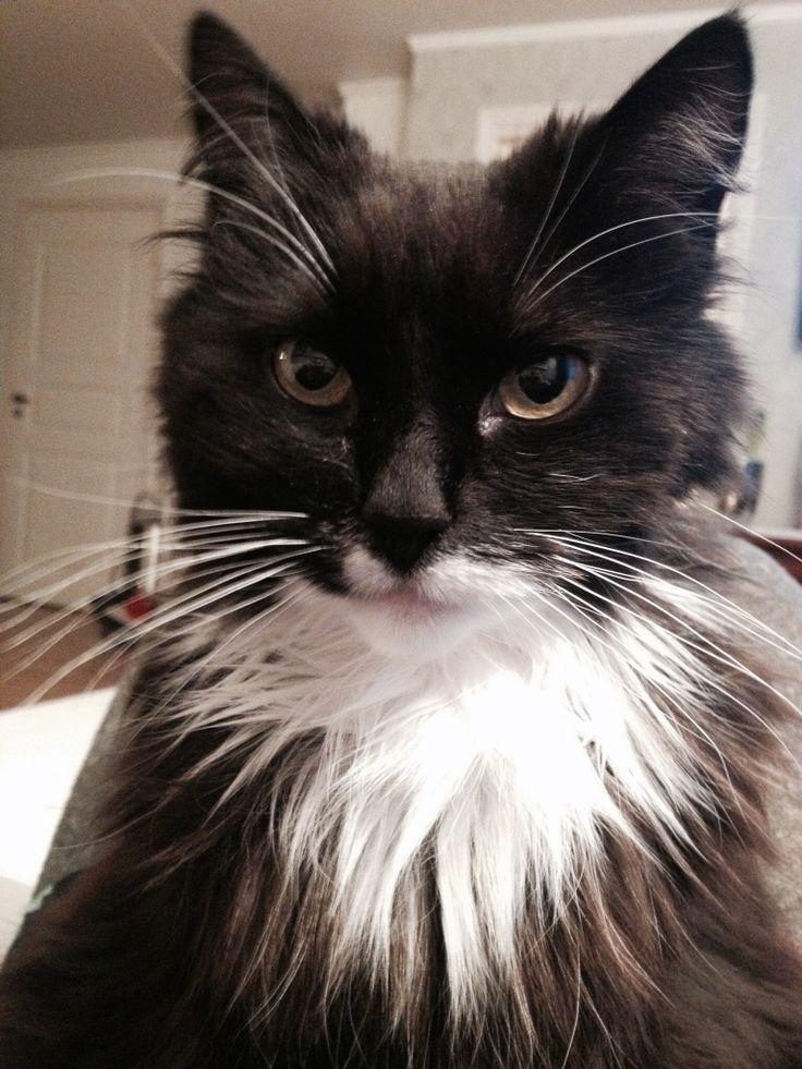 Nelly the tuxedo cat