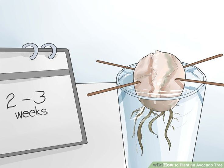 How to Plant an Avocado Tree (with Pictures) - wikiHow