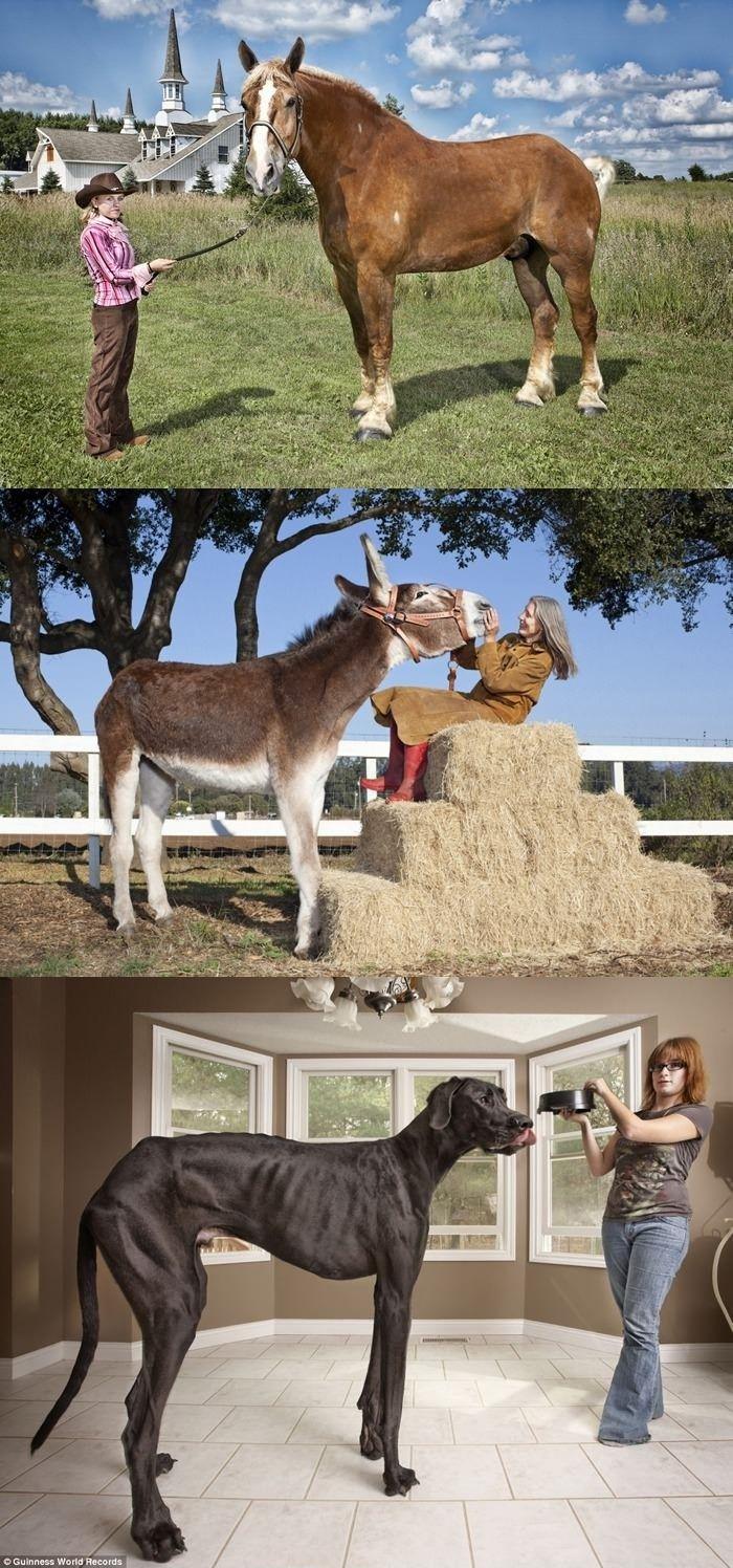 Tallest horse, donkey