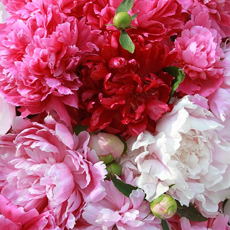 Shop Peonies | Peony Catalog | Herbaceous Peonies, Intersectional Peonies & Tree Peonies for Sale | Peony's Envy