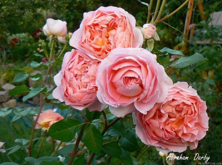 90 best images about roses wish list on pinterest large. Black Bedroom Furniture Sets. Home Design Ideas
