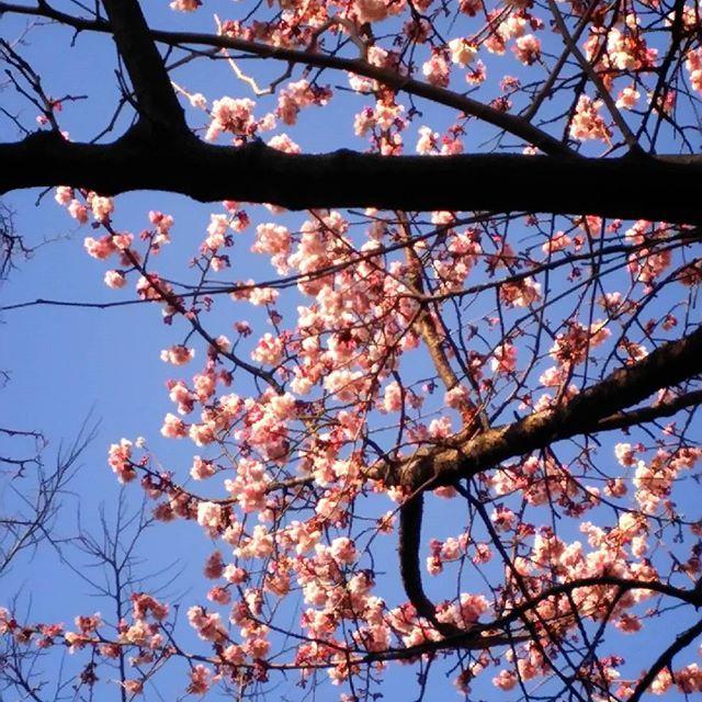 【satsuki_po2】さんのInstagramをピンしています。 《玉川上水駅前に、桜が咲いていました。 これも、寒桜でしょうか。  #カンザクラ #寒桜 #バラ科 #サクラ属 #木の花  #ピンクの花 #ピンク色の花 #kanzakura  #flower_special_ #flower_special #空 #青空  #special_flower_collections #beautiful_flowers  #beautiful_flower #きれいな花 #美しい花  #cherry_blossom #cherry_blossoms #青い空  #cherryblossom #cherryblossoms #花 #はな  #flowers #flower #カンザクラの #サクラの #桜の  玉川上水駅前 (反対側)》