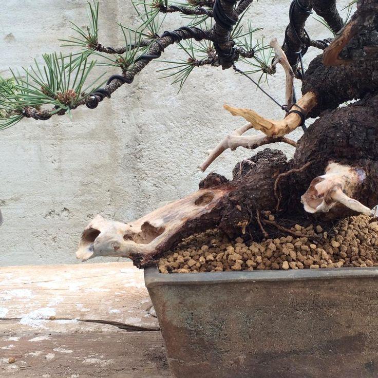 Dead wood of Pinus mugo Flash