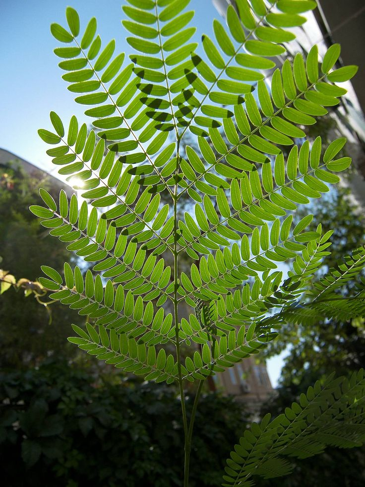 acacia-branch-leaves.jpg (1200×1600)