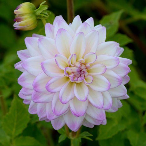 DAHLIA 'Orion' (Dahlia décoratif ) : Vivaces originaires du Mexique et d'Amérique centrale. Les différentes formes de fleurs et leurs sublimes coloris font du Dahlia un complément de décor indispensable aux massifs d'été et d'automne. Planter dans un sol riche et bien drainé, enterrer le tubercule sous 10 à 15 cm de terre. Dahlia décoratif (fleurs doubles sans disque central, pétales larges, aplatis). Fleurs blanches,  pointes rose.