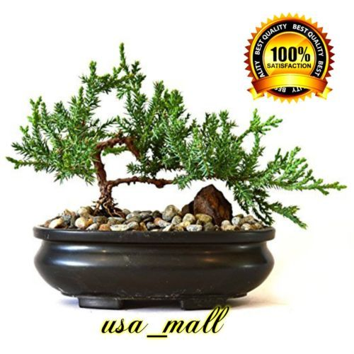 Bonsai-Tree-live-Juniper-Flowering-House-Plant-Indoor-Garden-New