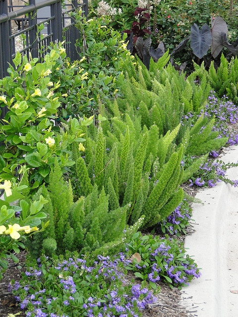 Landscaping With Ferns : Best fox tails ideas on