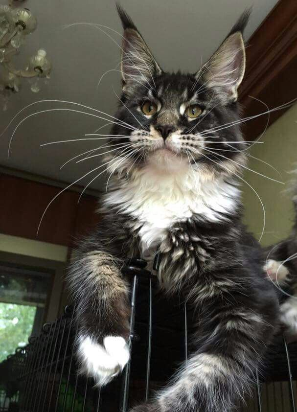 Pin On Maine Coon Cats Growth