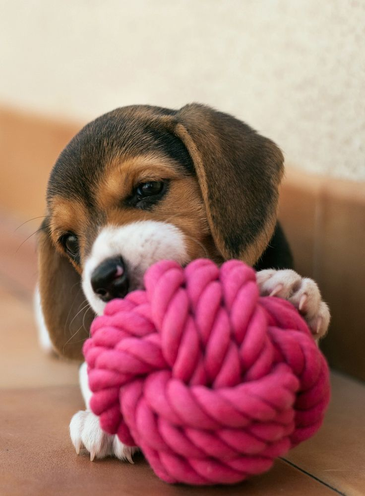 ***Beagle Puppy ----- Also, click on the image to check out our exclusive…