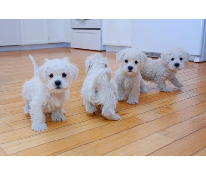 westie-poo puppies! Love these little guys.