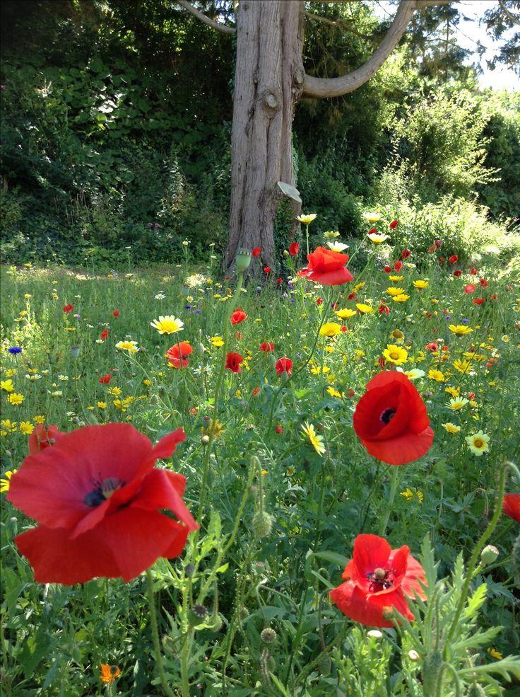 Poppies in the park Kingsbridge 2016
