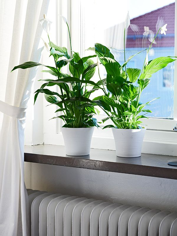 56 best images about peace lilies on pinterest indoor Indoor apartment plants