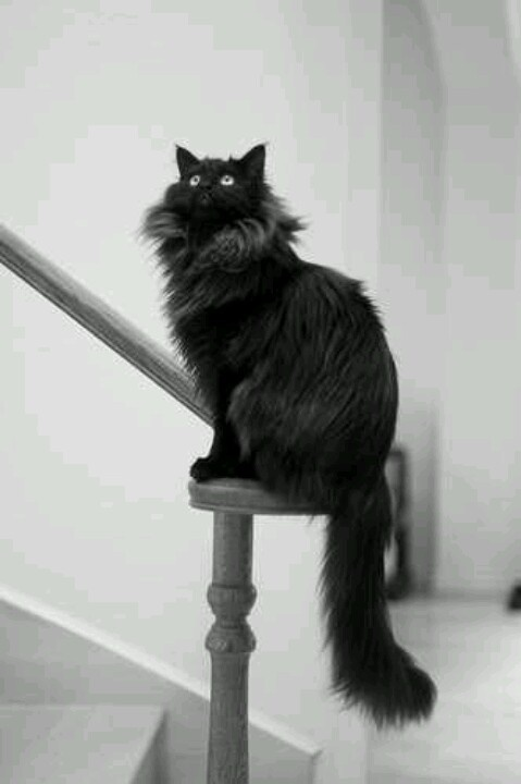 mancoon cat, I just love the size of these cats!