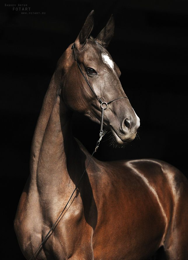 The Akhal-Teke is a horse breed from Turkmenistan. to me they look like arabians but with a mix of thoroughbred