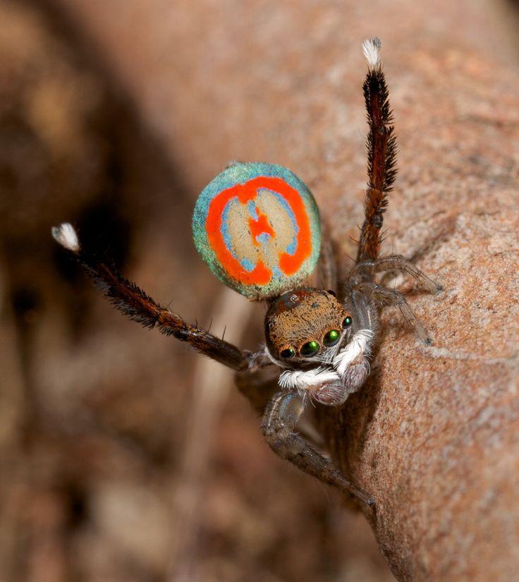 Les araignées paon sauteuses araignee paon 09 video technologie photo information bonus