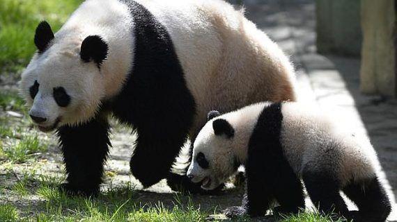 Imagen de osos panda: osa panda con su cachorro  [30-10-16]