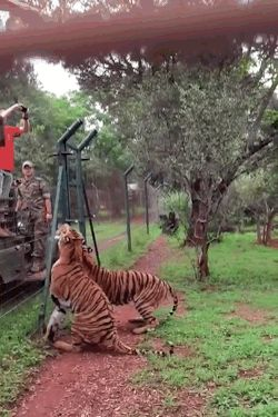 This Video Of A Tiger Jumping In Slow Motion Will Blow Your Mind – chelsea hume