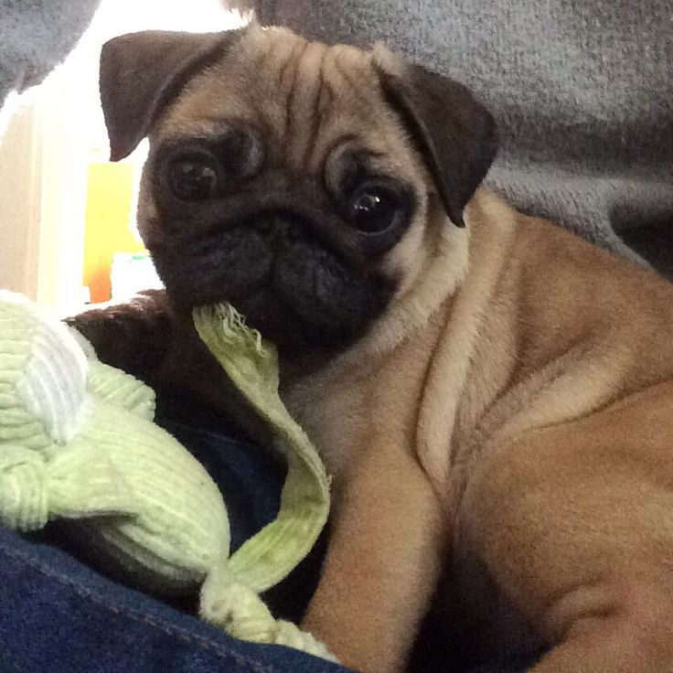 Dougal, the 14 weekold pug puppy is chewing on his toy