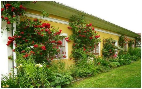 renovat.ro: Trandafirii cataratori - ghid complet despre plantare, intretinere, inmultire si taiere