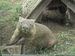 Quick facts about the wombat who is native only to Australia.