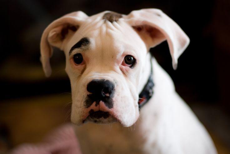 White Boxer Dog Loki Puppy | Flickr - Photo Sharing!  www.SHYsArt.com