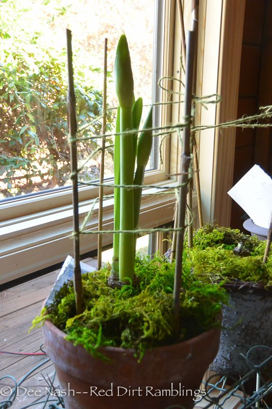 Amaryllis in terracotta pot with bamboo and twine support. | Growing amaryllis is easy - Red Dirt Ramblings®