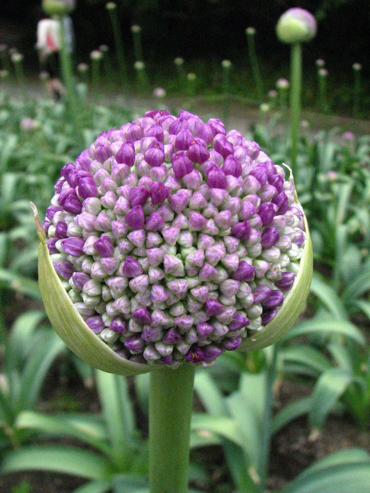 Allium Giganteum - Allium is a monocot genus of flowering plants, informally referred to as the onion genus.