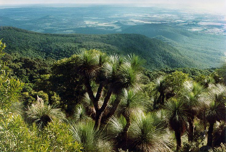 Grass trees. Bunya Mountains National Park, Queensland, Australia. A beautiful part of our world, full of history and heritage.
