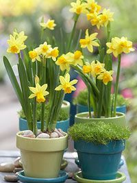 Tulips need about 12 weeks of cold chilling to bloom properly, but there is a risk of freezing when bulbs are planted in pots left outdoors. Use a freeze-proof pot at least the size of a half-whiskey barrel to provide enough protection. Place it in a protected area, such as inside a garage or near a house foundation, until the bulbs sprout in spring. You can also group large pots in a protected area and wrap them with burlap or other insulating material.