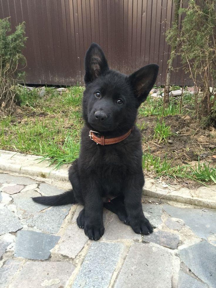 Baby Fast 2 Monate Kosmos Susse Tiere Schwarze Hunde
