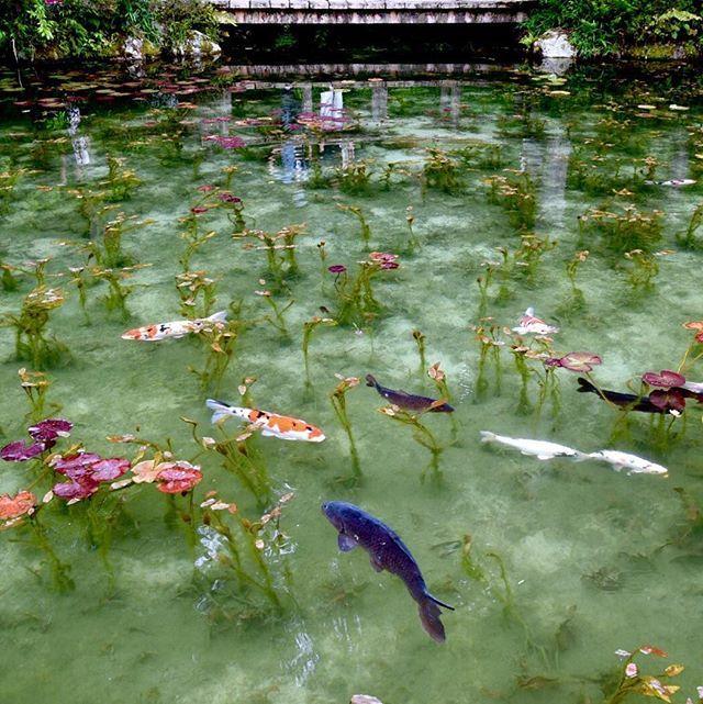 . モネの池 2016.6.4 . モネの池がある根道神社を訪ねました。 今日は日曜日だから凄い人。池のコイより多い見物人が池の周りを取り囲んでいました。 あいにくの雲り空だけど、幻想的な雰囲気は充分に堪能出来ました。 . #岐阜県関市板取下根道上 #モネの池 #根道神社 #NikonD750 28-85VR .