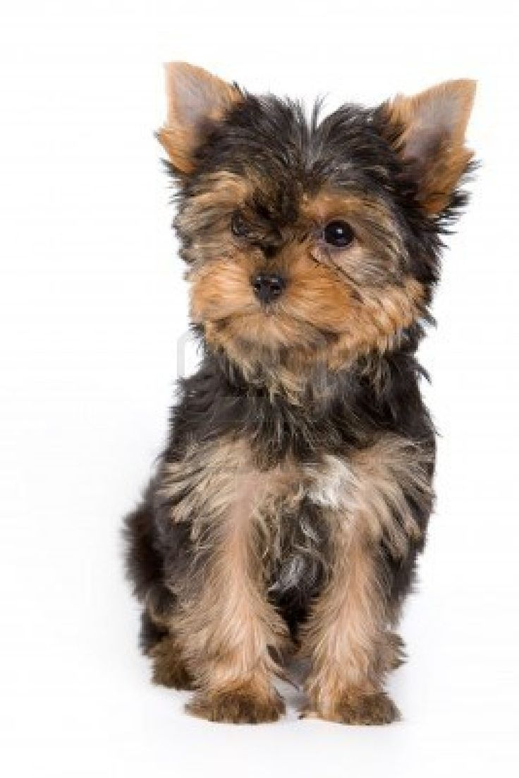 Cutest And Easiest To Train Teacup Dog Breeds