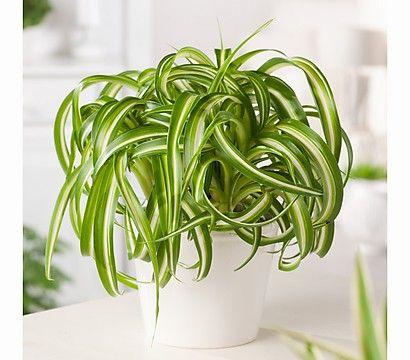 gr nlilie interessante zimmer pflanzen pinterest pflanzen garten pflanzen und zimmerpflanzen. Black Bedroom Furniture Sets. Home Design Ideas