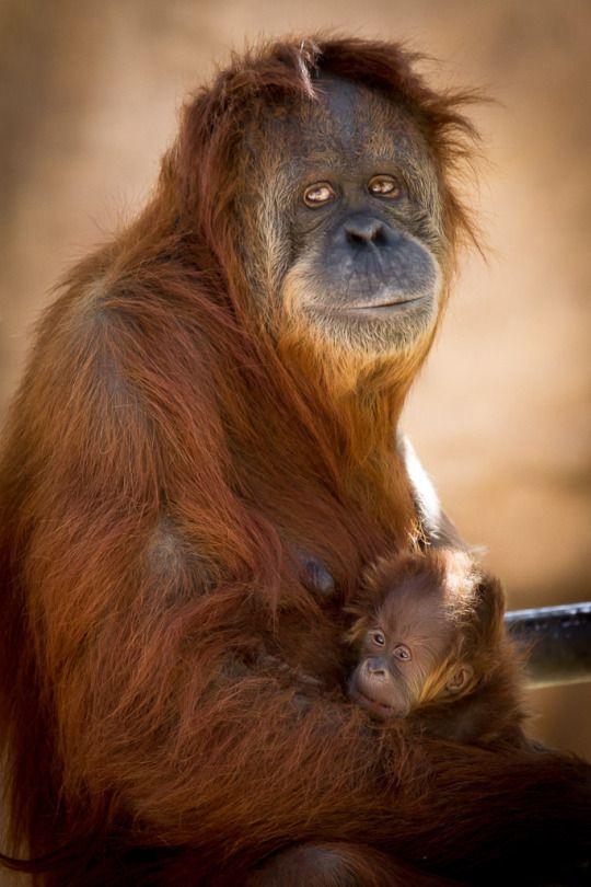 mama orangutan and baby