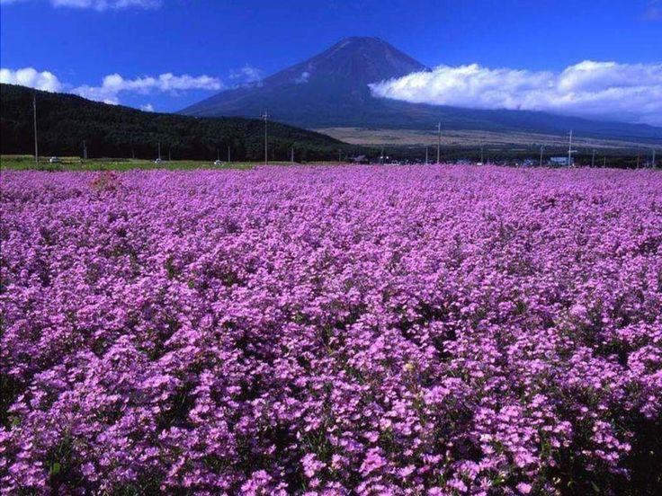 PURPLE FLOWER FIELDS Wallpaper | Outdoors - Field Of ...