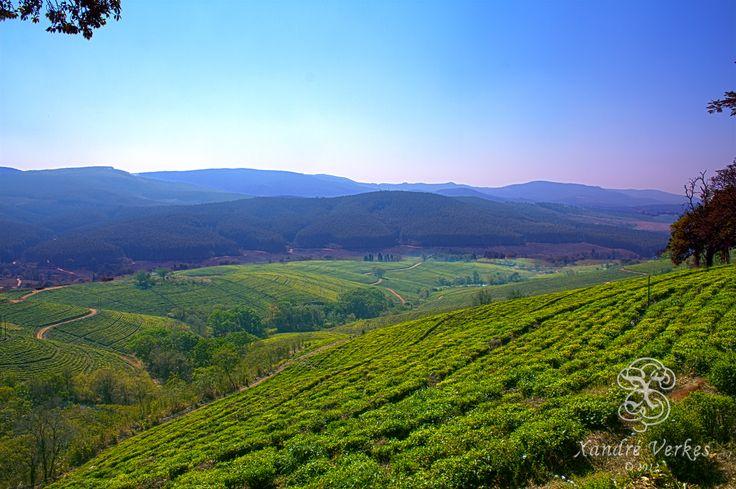 Magoebaskloof tea plantation, South Africa