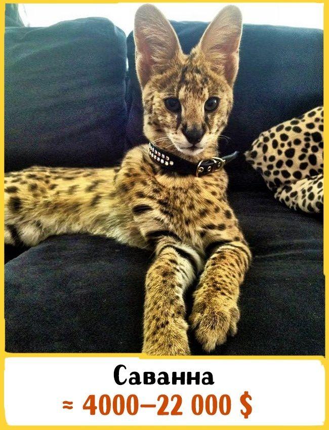 19 шикарных кошек, которые стоят целое состояние  -  Эта порода появилась на свет благодаря скрещиванию африканского сервала и домашней кошки. Это самые крупные кошки: вес взрослой особи — в среднем 15 кг, а высота — 60 см. Саванны известны своим высоким уровнем интеллекта,   Источник: https://www.adme.ru/zhizn-zhivotnye/19-shikarnyh-koshek-kotorye-stoyat-celoe-sostoyanie-1358165/ © AdMe.ru
