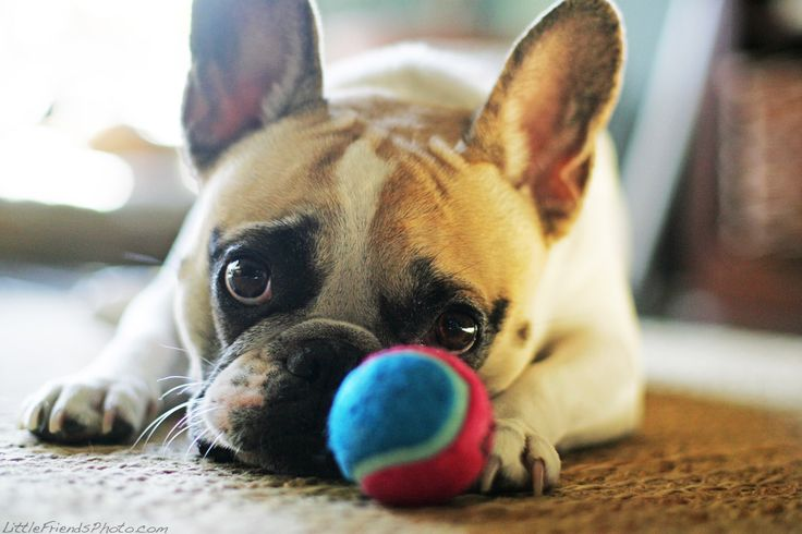 play with me!: Animals, French Bulldogs, Play French Bulldog, Pets, Puppy, Plays, Frenchie, Seth Casteel