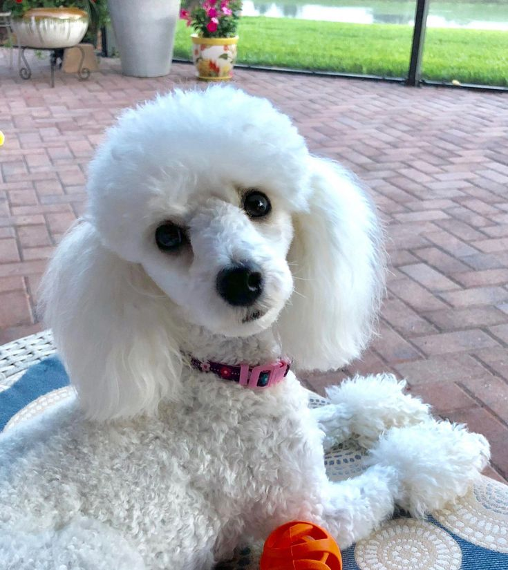 Pin by holly trout on poodles in 2020 toy poodle haircut