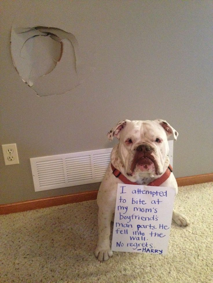 """""""I attempted to bite my Mom's boyfriends man parts. He fell into the wall. No regrets. -Harry"""" ~ Dog Shaming shame - Bull Dog"""
