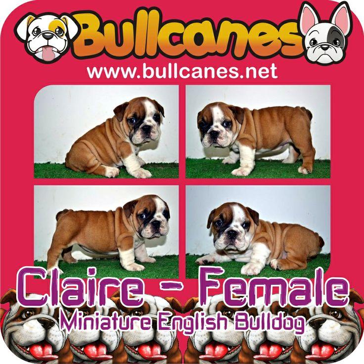 CLAIRE - Female Miniature English Bulldog Puppy For Sale  http://www.bullcanes.net / ceo@bullcanes.net / Facebook: bullcanes1@hotmail.com / instagram: @BULLCANES Bulldog puppies for Sale / Twiter: bullcanes1 / YouTube: Bullcanes Bulldog Kennel
