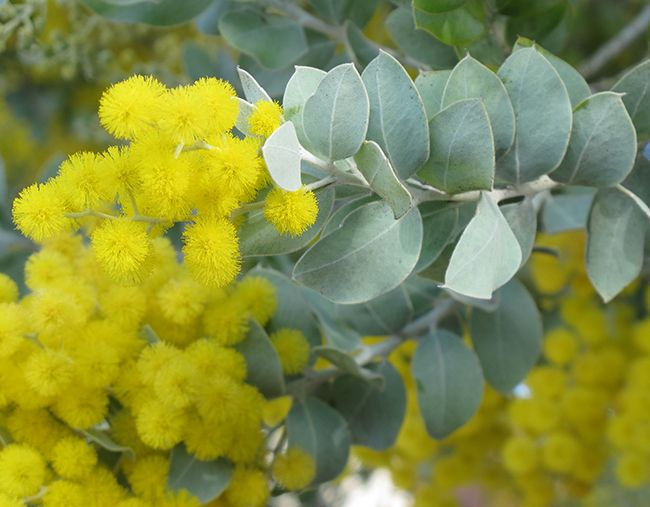 Acacia podalyriifolia. Pearl acacia.